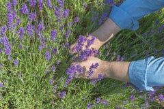 Las manos del varón que cortan las flores de la lavanda Foto de archivo libre de regalías