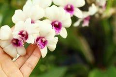 Las manos están llevando a cabo un manojo de flor blanca de las orquídeas Fotos de archivo libres de regalías