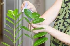 Las manos femeninas que toman el cuidado de flores interiores en su hogar, limpiando el polvo del ` s de la planta se van Imagen de archivo libre de regalías