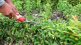 las manos 4K del jardinero que cortan la planta enana verde del seto en el jardín con poda de la hierba scissor esquileos metrajes