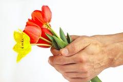Las manos presentan un ramo de tulipanes rojos y amarillos en el fondo blanco Fotografía de archivo libre de regalías