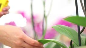 Las manos que rocían en las hojas, toman el cuidado de las plantas de las flores almacen de video