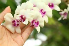 Las manos son el sostenerse de las orquídeas blancas Foto de archivo