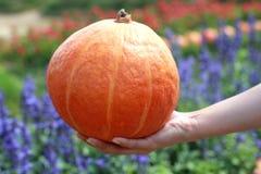 Las manos sostienen la calabaza anaranjada fresca Fotos de archivo libres de regalías