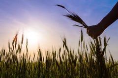 Las manos sostienen las espigas de campo del trigo Foto de archivo libre de regalías