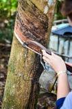 Las manos suben las plantaciones de goma Fotografía de archivo