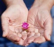 Las manos y una pequeña flor de la mujer fuerte Foto de archivo
