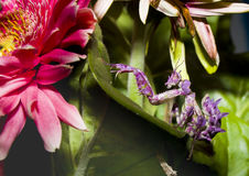 Las mantis religiosas cavan en las hojas verdes y la flor rosada Imagen de archivo libre de regalías