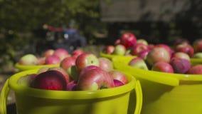 Las manzanas cosechan en un cubo en una tierra en el jard?n metrajes