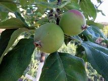 Las manzanas crecen en un árbol foto de archivo