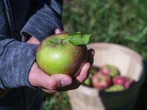 Las manzanas de la cosecha en una cosecha del manzanar dan fruto Foto de archivo
