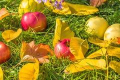 Las manzanas en la hierba verde entre las hojas de otoño Imagen de archivo