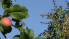 Las manzanas maduras crecen en la ramita entre el follaje verde contra un cielo azul Cambio del foco 4K metrajes