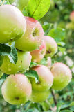 Las manzanas maduras en una rama con lluvia caen Imagenes de archivo