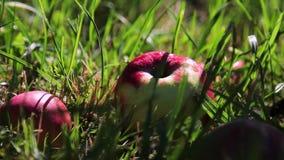Las manzanas mienten en la hierba Día soleado, hierba verde ramifique con las frutas almacen de metraje de vídeo