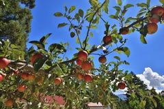 Las manzanas rojas crecen en la rama Fotografía de archivo