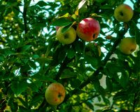 Las manzanas rojas crecen en un árbol en el jardín imagenes de archivo