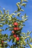 Las manzanas rojas crecen en una rama contra el cielo azul Foto de archivo libre de regalías