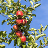 Las manzanas rojas crecen en una rama contra el cielo azul Fotografía de archivo libre de regalías
