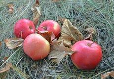 Las manzanas rojas están en la hierba seca entre las hojas de otoño caidas imagen de archivo