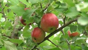 las manzanas Rojo-verdes cuelgan en una rama Manzanas deliciosas brillantes que cuelgan de una rama de árbol en un manzanar almacen de video