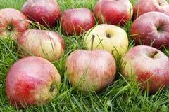 Las manzanas verdaderas del autmn en una hierba Imagen de archivo libre de regalías