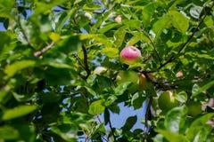 Las manzanas verdes crecen en rama del manzano con las hojas bajo sunligh Manzanas maduras en el árbol en naturaleza Manzanas fre Fotografía de archivo