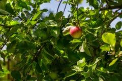 Las manzanas verdes y rojas crecen en rama del manzano con las hojas bajo sunligh Manzanas maduras en el árbol en un fondo del ci Imágenes de archivo libres de regalías