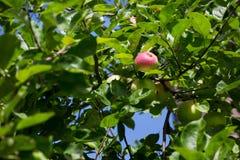 Las manzanas verdes y rojas crecen en rama del manzano con las hojas bajo sunligh Manzanas maduras en el árbol en un fondo del ci Foto de archivo libre de regalías