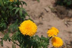 Las maravillas amarillas están en el jardín Foto de archivo