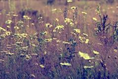 Las margaritas blancas en un fondo del prado del verano teñieron la violeta Imagen de archivo libre de regalías