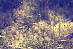 Las margaritas blancas en un fondo del prado del verano teñieron la violeta Foto de archivo libre de regalías