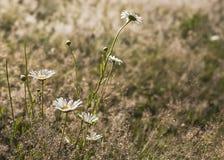 Las margaritas blancas en un fondo del prado del verano teñieron la violeta Fotos de archivo libres de regalías
