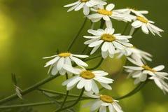 Las margaritas blancas florecen en un día de verano soleado Fondo floral de color verde amarillo hermoso de las flores del bosque Imagen de archivo