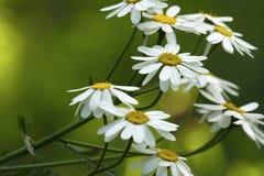 Las margaritas blancas florecen en un día de verano soleado Fondo floral de color verde amarillo hermoso de las flores del bosque Fotos de archivo libres de regalías