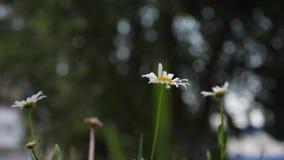 Las margaritas hermosas florecen en verano en c?sped Concepto del negocio de la flor primer las flores de la margarita blanca cue