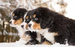 Las marionetas del perro de montaña de Bernese alistan el juego del juego Imagen de archivo libre de regalías