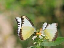 Las mariposas chupan el néctar junto, amor inclusivo Imagenes de archivo