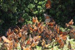 Las mariposas de monarca vuelan Imagen de archivo libre de regalías