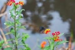 Las mariposas están polinizando las flores a lo largo de corrientes en parques nacionales imágenes de archivo libres de regalías