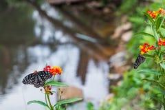 Las mariposas están polinizando las flores a lo largo de corrientes en parques nacionales fotos de archivo
