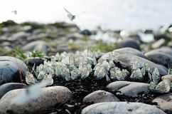 Las mariposas se sientan entre piedras en un fondo del río Fotografía de archivo
