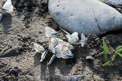 Las mariposas se sientan entre piedras en un fondo del río Foto de archivo libre de regalías