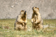 Las marmotas Himalayan emparejan la situación en el prado abierto, Ladakh, la India Fotografía de archivo libre de regalías