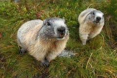 Las marmotas se cierran para arriba Fotografía de archivo libre de regalías