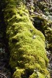Las - mech zakrywający drzewny bolus obraz stock