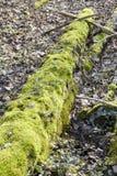 Las - mech zakrywający drzewny bolus zdjęcia royalty free