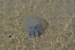 Las medusas Fotografía de archivo libre de regalías