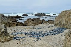 Las medusas azules se lavan en tierra Foto de archivo