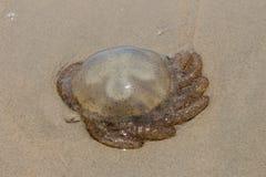 Las medusas en la arena Foto de archivo libre de regalías